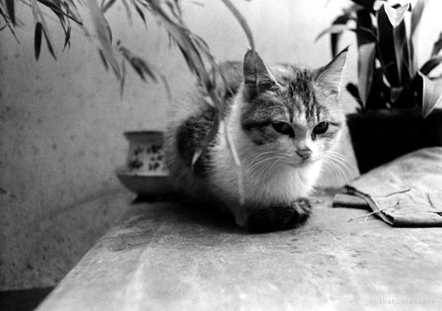 Tango calico cat